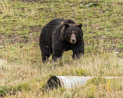 Poster featuring the photograph The Big Black Grizzly Boar by Yeates Photography