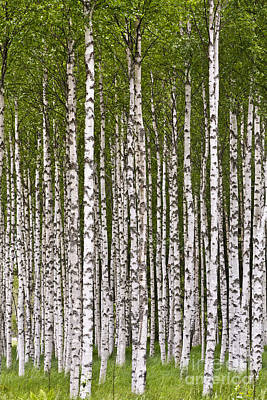 The Birch Wood Poster by Heiko Koehrer-Wagner
