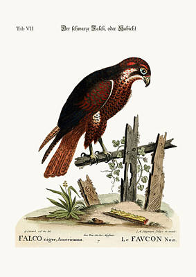 The Black Hawk Or Falcon Poster by Splendid Art Prints