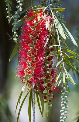 The Bottlebrush Tree Poster