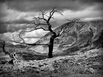 The Burmis Tree Poster by Blair Wainman