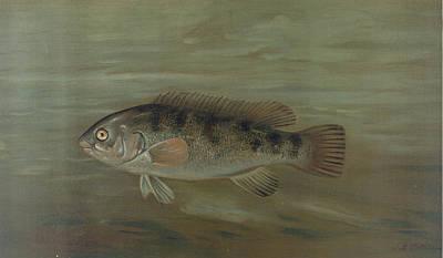 The California Redfish Or Fat-head, Pimelometopon Pulcher Poster by Artokoloro