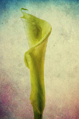 The Calla Lily Flower In Texture Poster