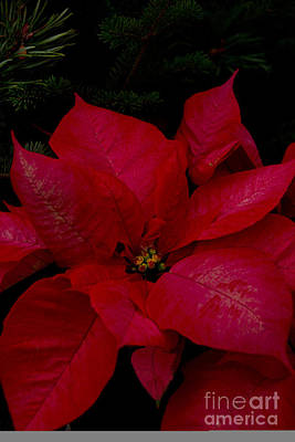 The Classic Christmas Pointsettia Poster by Bill Woodstock