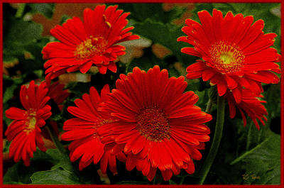 Gerbera Daisies Red Poster by James C Thomas