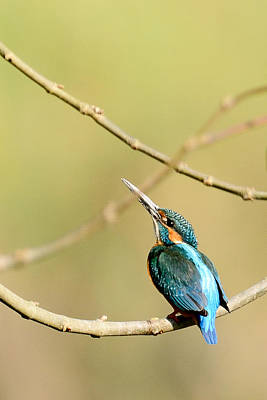 The Common Kingfisher Poster