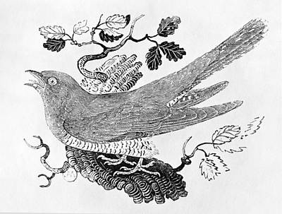 The Cuckoo Cuculus Canorus From The History Of British Birds Volume I, Pub. 1797 Wood Engraving Poster by Thomas Bewick