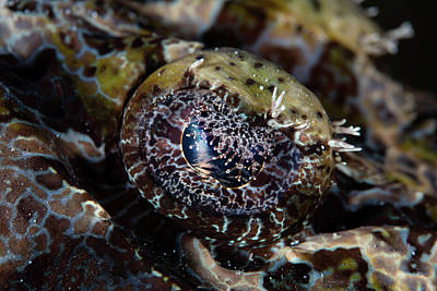 The Eye Of A Crocodilefish In Wakatobi Poster