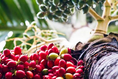 The Foxtail Palm - Wodyetia - Red Palm Fruits Maui Hawaii  Poster
