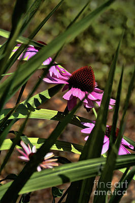 The General A Purple Cone Flower Poster by Lesa Fine