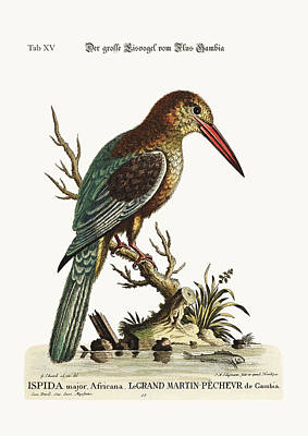 The Great Kingfisher From The River Gambia Poster by Splendid Art Prints