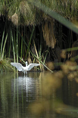 Poster featuring the photograph The Heron Has Landed by Kevin Bergen