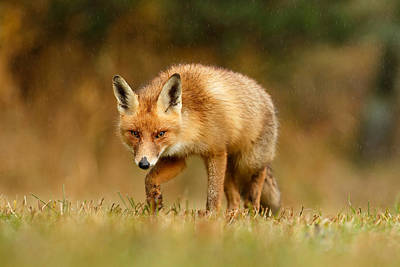 The Hunter In The Rain - Red Fox On A Rainy Day Poster by Roeselien Raimond