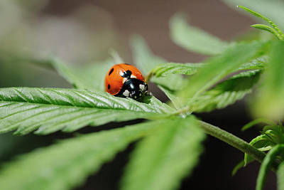 The Ladybug And The Cannabis Plant Poster by Stock Pot Images