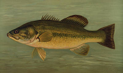 The Large-mouthed Black Bass, Micropterus Salmoides Poster by Artokoloro