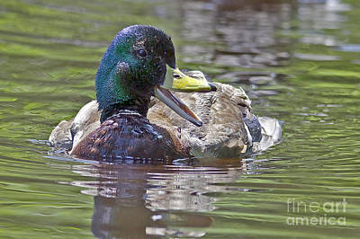 The Laughing Duck Poster by Sharon Talson