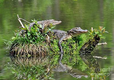Poster featuring the photograph The Lazy Gators by Kathy Baccari