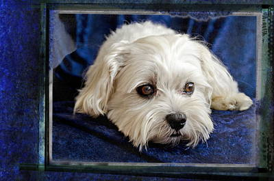 The Maltipoo Bailey On A Blue Background Poster