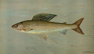 The Michigan Grayling, Thymallus Ontariensis Poster by Artokoloro