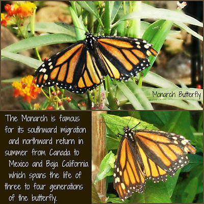 Poster featuring the photograph The Monarch Story by Mindy Bench