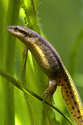 Poster featuring the photograph The Other Newt by Gene Walls