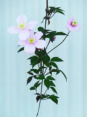 The Pink Clematis Poster by Steve Taylor