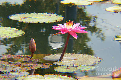 The Pink Water Lily With Lily Pads - One Poster by J Jaiam