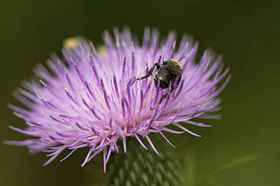 The Pollinator - Bee On Thistle  Poster by Jane Eleanor Nicholas