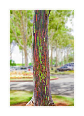 Poster featuring the photograph The Rainbow Eucalyptus Tree by MaryJane Armstrong