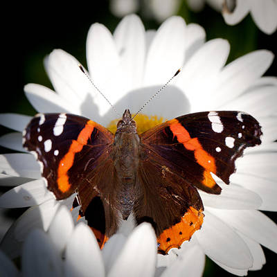 The Red Admiral Butterfly Poster by David Patterson