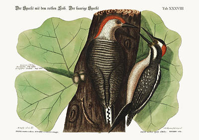 The Red-bellied Woodpecker. The Hairy Woodpecker. Poster by Splendid Art Prints