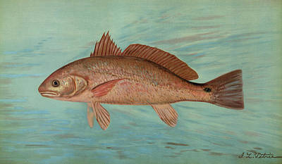 The Red Drum Or Channel Bass, Scioena Ocellata Poster by Artokoloro