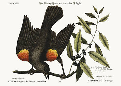 The Red-winged Starling Poster by Splendid Art Prints