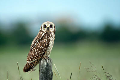 The Short-eared Owl  Poster