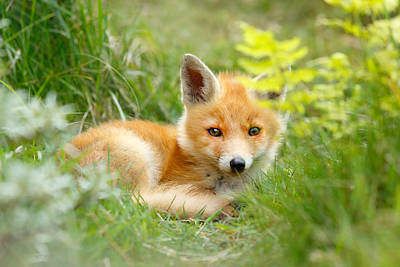 The Shy Kit Fox Cub Hiding Behind Some Ferns Poster