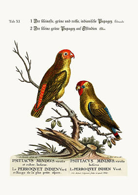 The Smallest Green And Red Indian Paroquet. The Small Green Parr Poster by Splendid Art Prints
