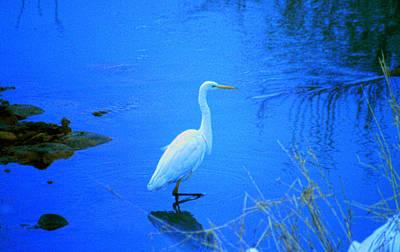 The Snowy White Egret Poster