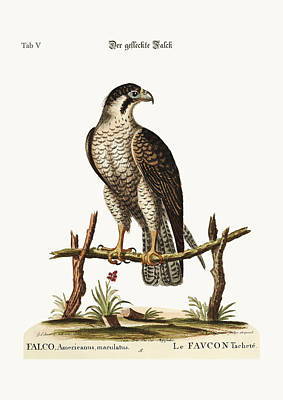 The Spotted Hawk Or Falcon Poster by Splendid Art Prints
