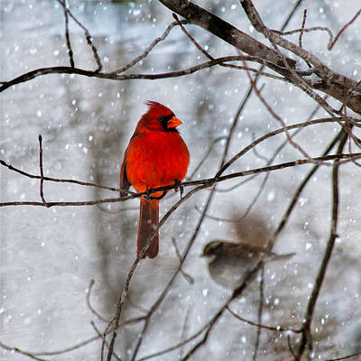 Blue Eyes In The Snow Cardinal  Poster by Betsy Knapp