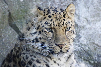 The Stare Of A Leopard Poster