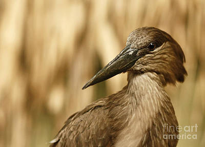 The Strange African Hammerkop Pelican  Poster by Inspired Nature Photography Fine Art Photography