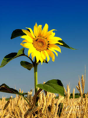 The Sunflower In Wheat Poster by Boon Mee