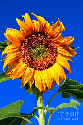 The Sunflower Poster by Robert Bales