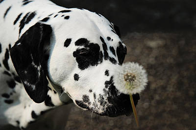 The Tender Soul Of Dalmation. Kokkie. Dalmation Dog Poster by Jenny Rainbow
