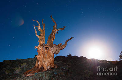 The Test Of Time - Lightpainting The Ancient Bristlecone Pine Tree With Star Trails. Poster