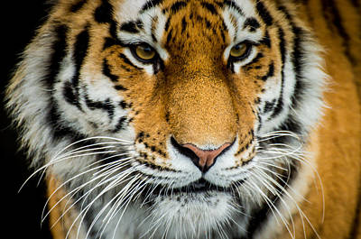 The Tiger Poster by Mirra Photography