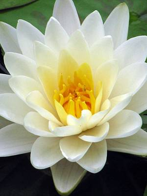 Poster featuring the photograph The Water Lilies Collection - 03 by Pamela Critchlow