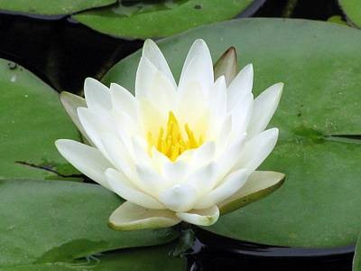 Poster featuring the photograph The Water Lilies Collection - 04 by Pamela Critchlow
