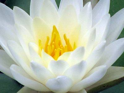 Poster featuring the photograph The Water Lilies Collection - 05 by Pamela Critchlow