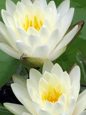 Poster featuring the photograph The Water Lilies Collection - 09 by Pamela Critchlow